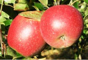 Bilpin apple seedling clled Julie