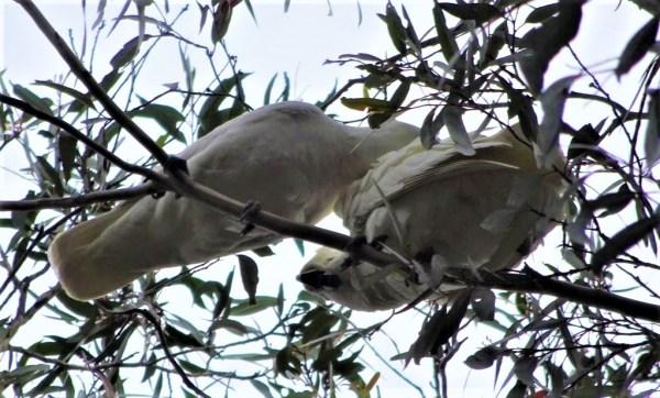 Parent cockatoo preening chick