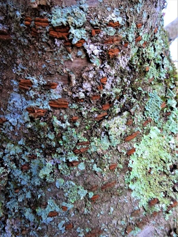 Lichen on cherry tree.