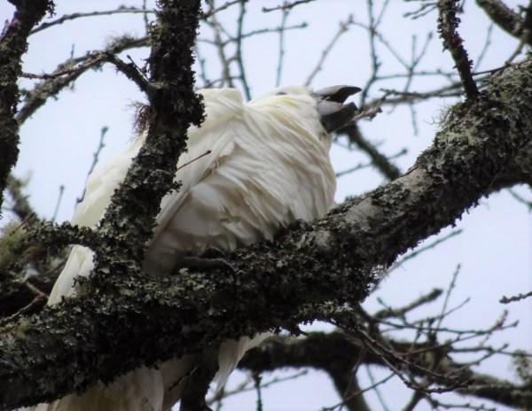 Hungry cockatoo chick.
