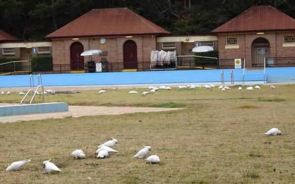 Sulphur crested cockatoos at Blackheath swimming complex.