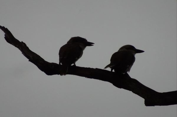 Kookaburras at dusk