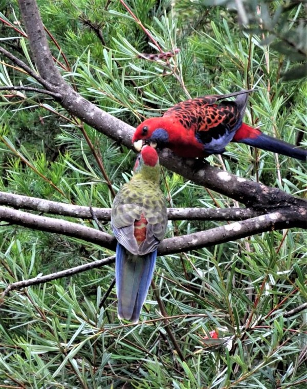 Crimson rosella feeding breakfast to  chick
