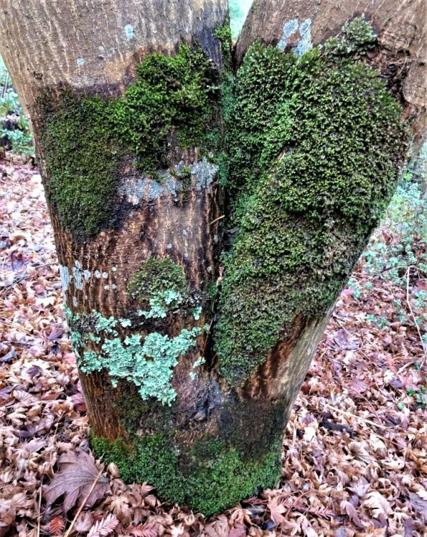 Lichen on Japanese maple trunk.