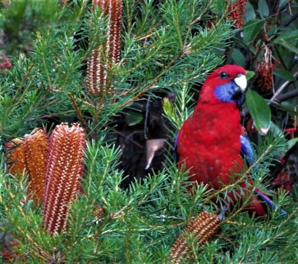 Crimsin rosella in Banksia