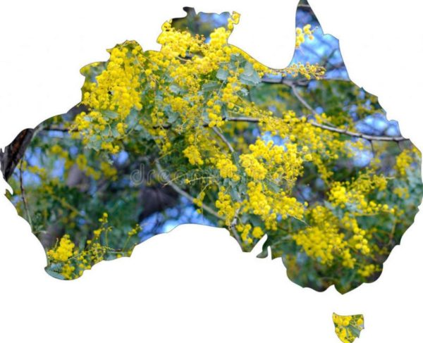 Australia's Floral Emblem is Golden Wattle.  Should Wattle Day become  Australia Day?