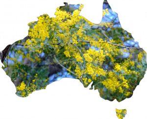 Austrlia's Floral Emblem. Golden Wattle