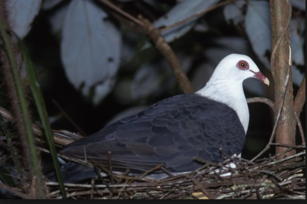 White Headed pigeon on the nest.