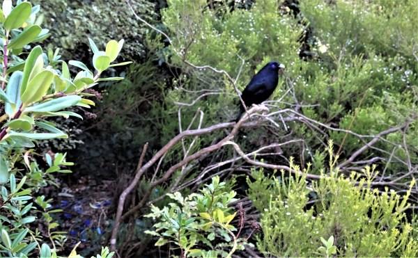 Bowerbird in Memorial Park Blackheath