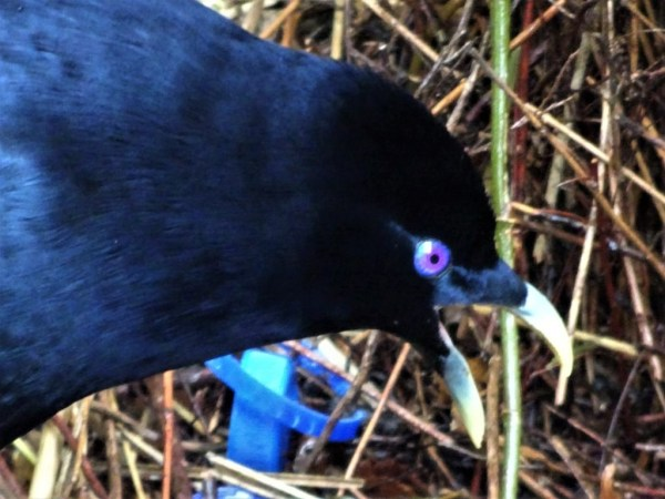 Male Satin Bowerbird.