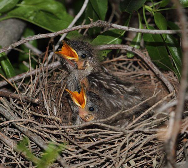 Red Wattlebird chicks