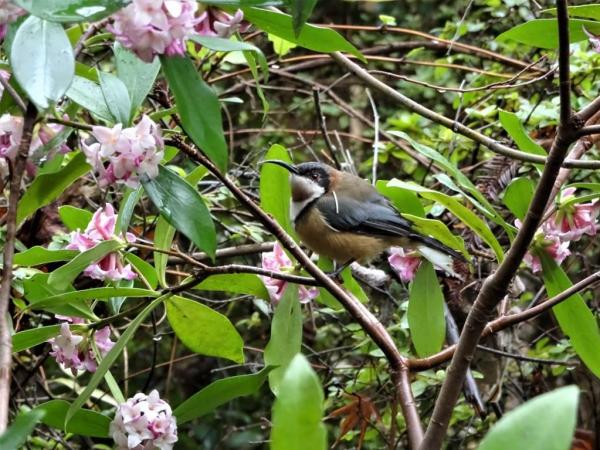 Spinebill in the dphne