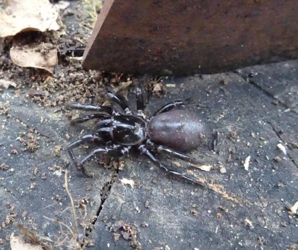 Funnel Web spider.