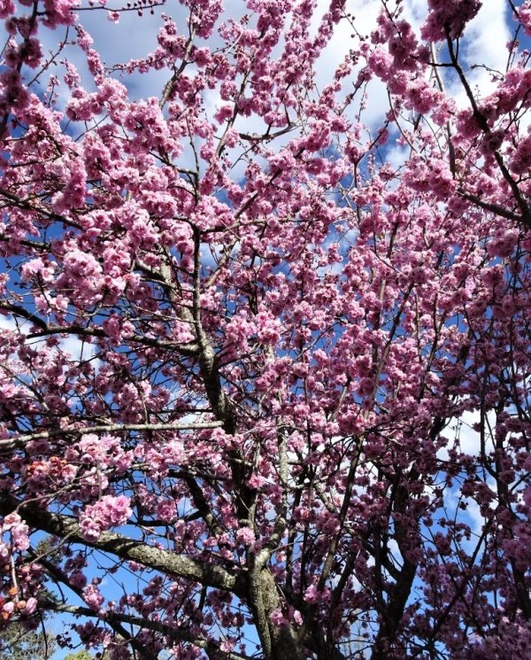 Cherry blossom at Blackheath
