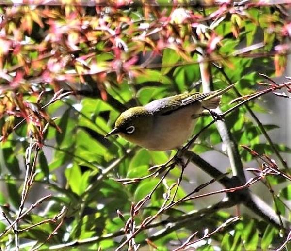 Silvereye in spring.