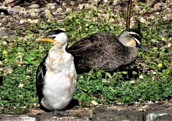 Cormorant and duck