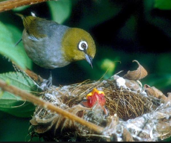 Silvereye feeding its young.