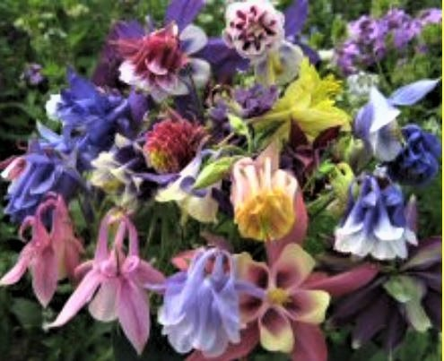 Varieties of aquilegias.