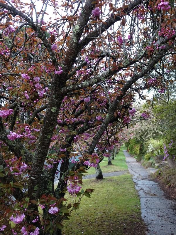 Cherry avenue in Blackheath NSW