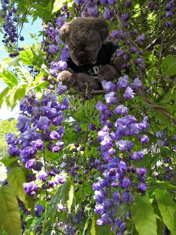 Editor Des in the wisteria