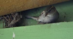 Sparrow at nest, Blackheath station.