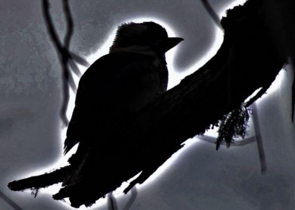Halloween Kookaburra