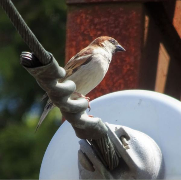 Sparrow at Blackheath Station