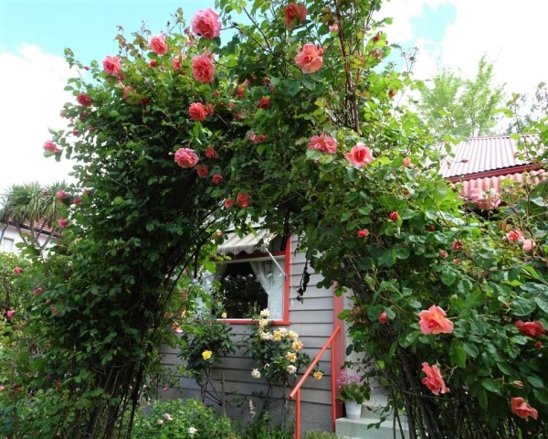Arch of Ali Baba roses.