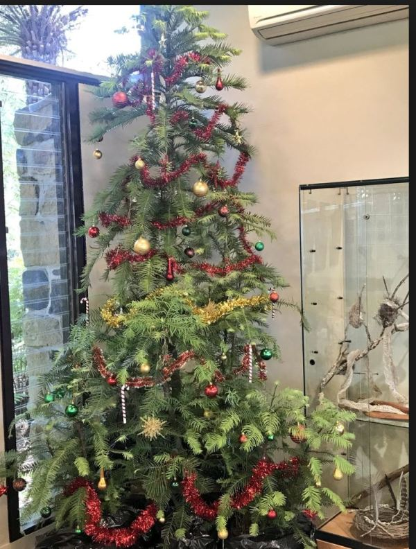 Wollemi Christmas tree