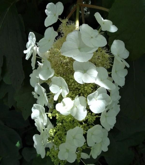 Oakleaf hydrangea.