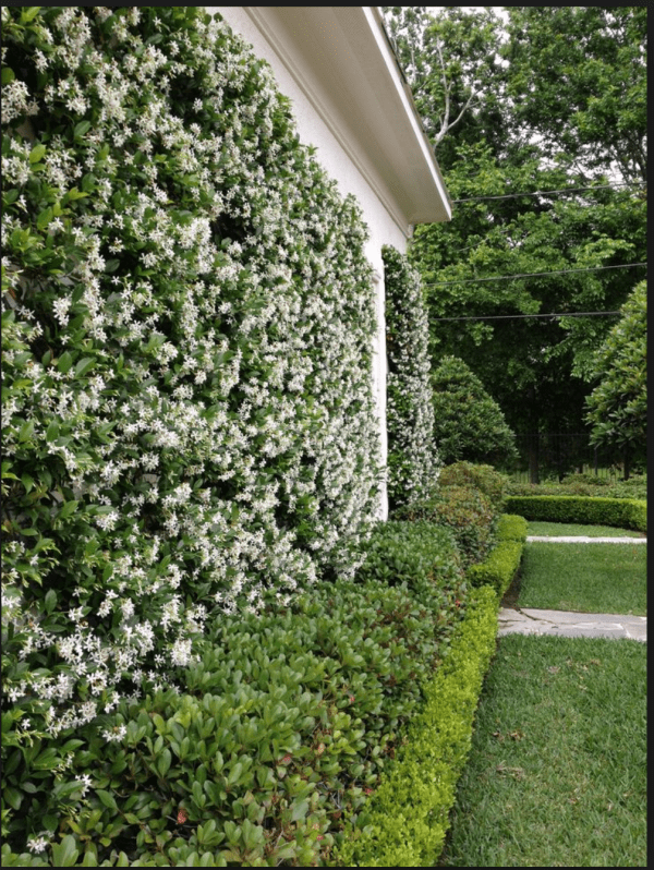 Star jasmine trained agaist a wall
