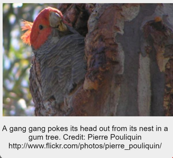 Gang-gang cockatoo in nest hollow.