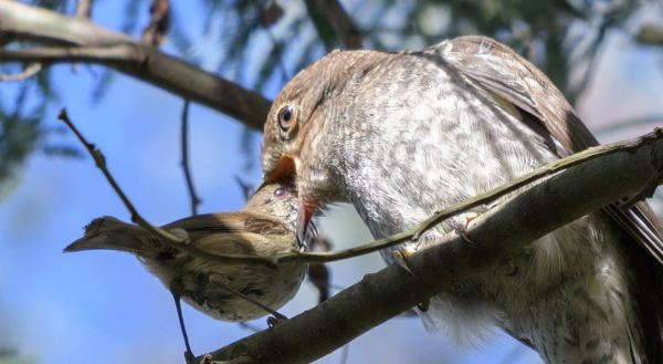 Brown thornbill feeding cuckoo chick.