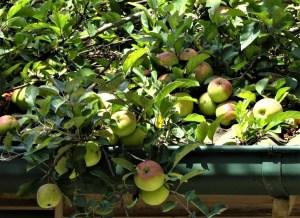 Rooftop apples.