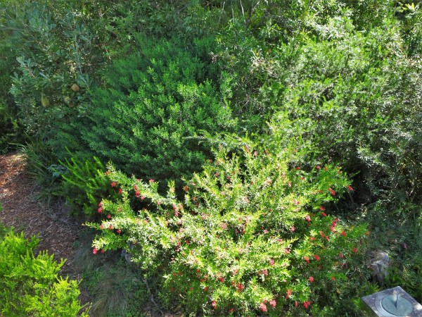 Bird friendly native shrubbery...perfect for tiny wrens.