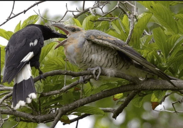 Magpie feeding channel billed cuckoo