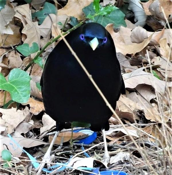 Male adult satin bowerbird.