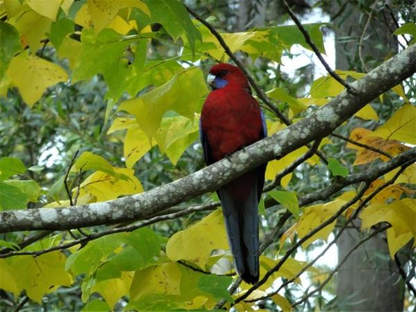 Crimson rosella in tulip tree..