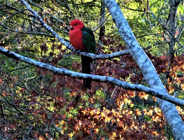 King Parrot in autumn