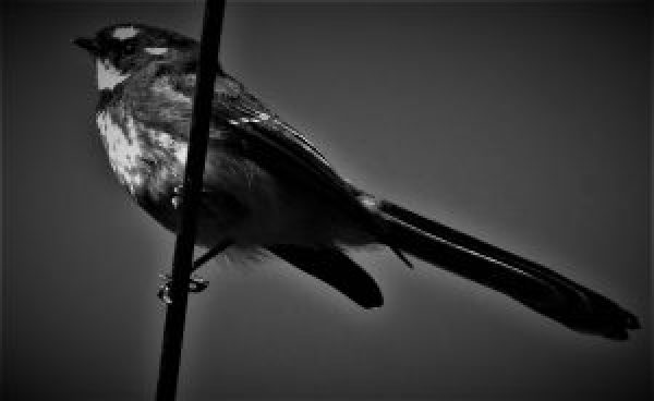Bird on a wire....fantail.