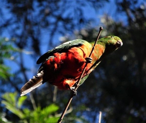 Careful king parrot, that branch  is a bit slender.