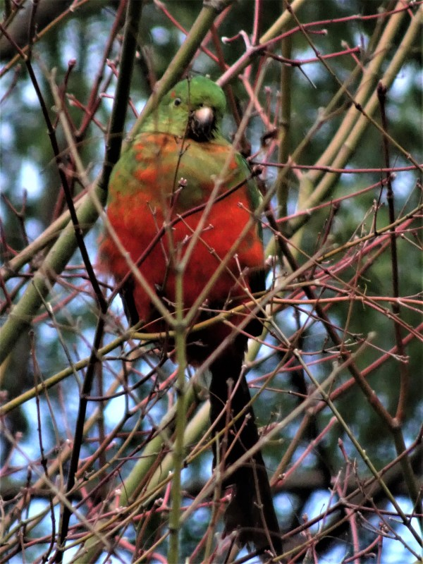Lonely little king parrot.