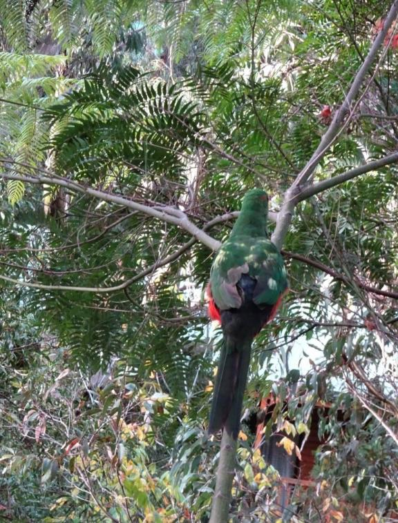 King parrot with beak and feather disease.