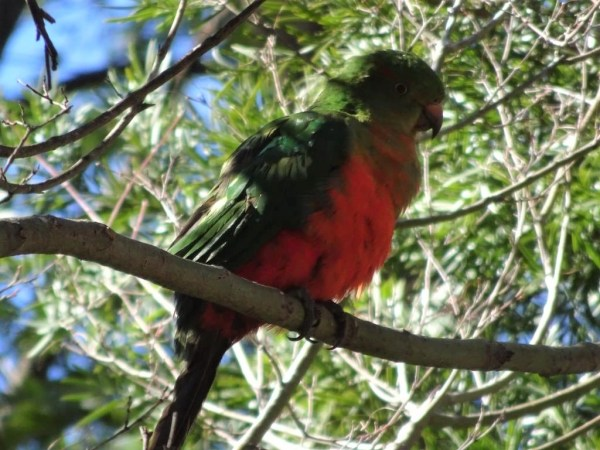 King Parrot in winter sun.