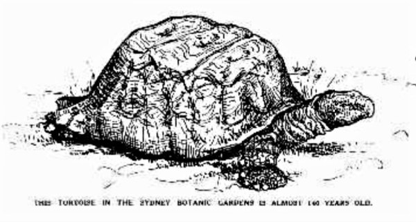 Tortoiise living in the avoary paddock at Sydney Botanic Grdens in 1933