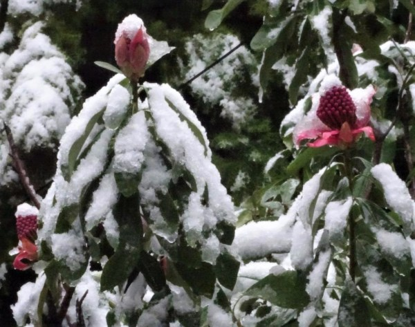 Snow on the Waratah buds at Blackheath.