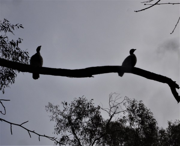 Wood ducks in silhouette.