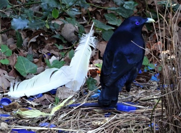 Satin bowerbird with sulphur crested cockatoo feathers.
