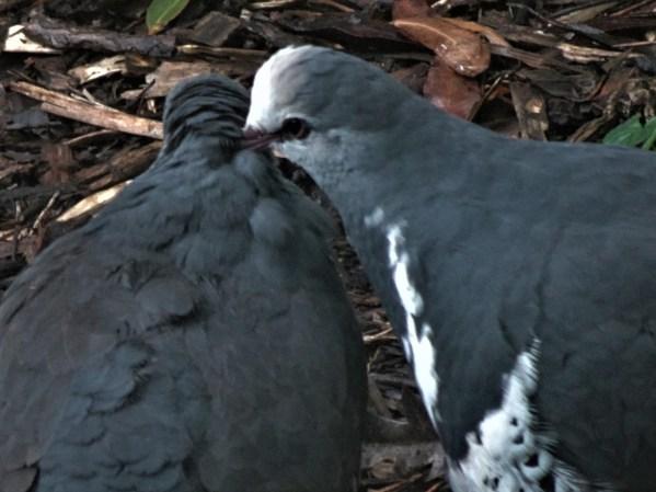 Wonga pigeons wooing in winter!