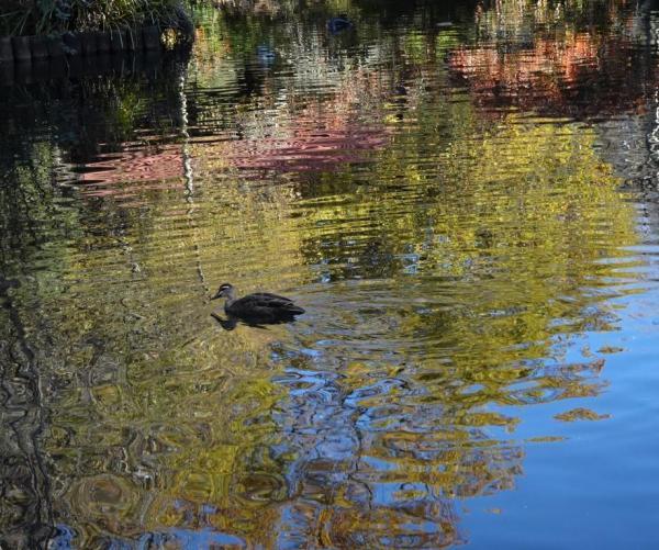 Blackheath duckpond - in splendid isolation.